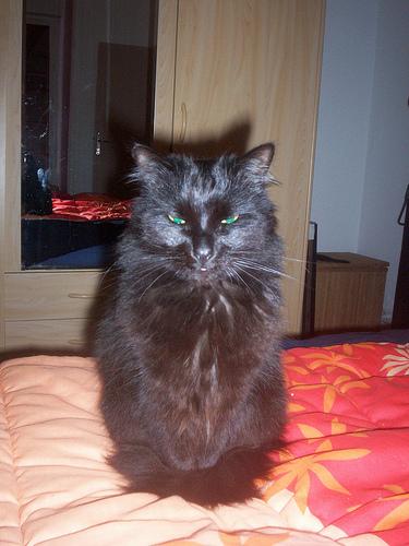 Loulou, angora turc noir Loulou12