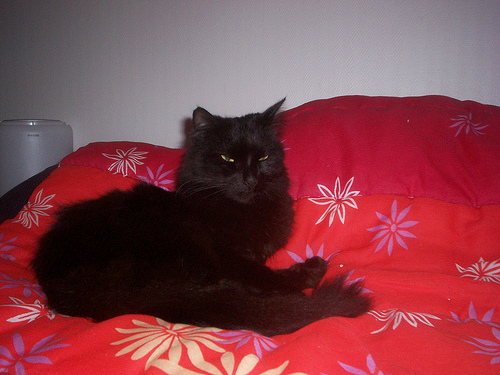 Loulou, angora turc noir Loulou13