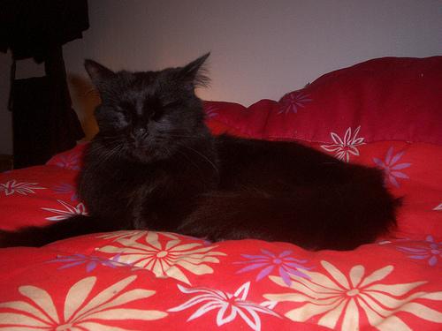 Loulou, angora turc noir Loulou15