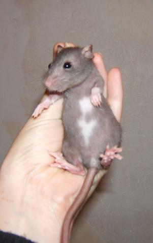 Toute une famille de rats ! Prunil12