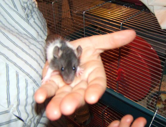 Toute une famille de rats ! Sauvet13