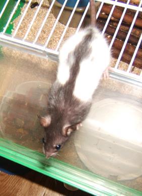 Toute une famille de rats ! Zaza_111