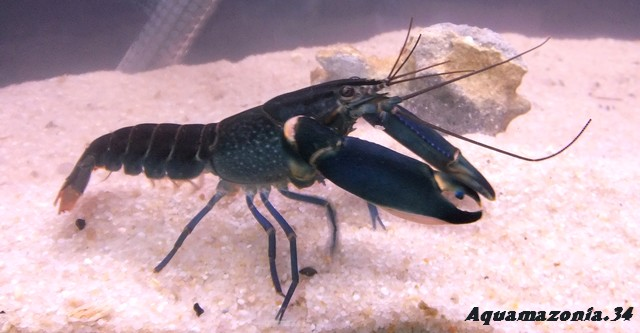 Mes Cherax sp blue moon Cherax12