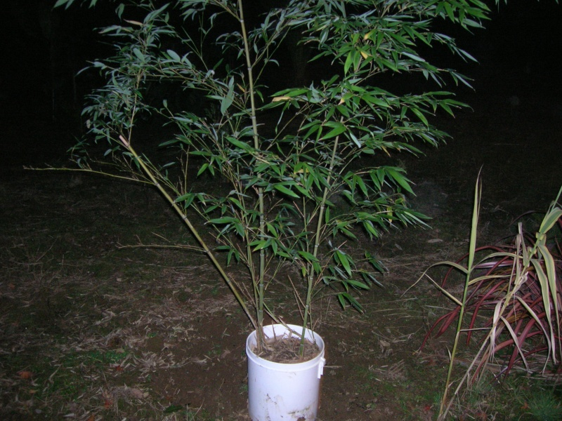 Phyllostachys pubescens Dscn1210