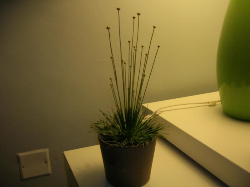 Identification d'une drole de plante - Syngonanthus Chrysansus ou mikado Dscn1332