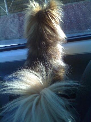 quand les gens confonde vos chiens avec une autre race!!! - Page 2 Moto_011