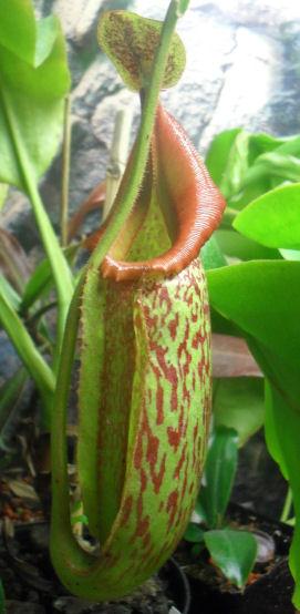 Ma Nepenthes Maxima / Déménagement terra-aqua 09_02_15