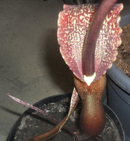 Sauromatum Venosum - Arum Cornu (ou bien comment avoir des nausées...) - Page 2 Sdc10011