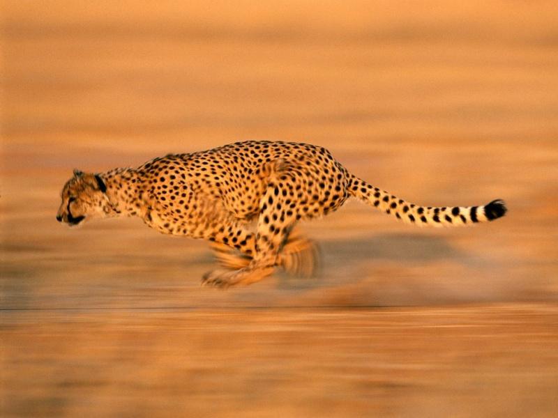 CHEETAH !!! Cheeta11