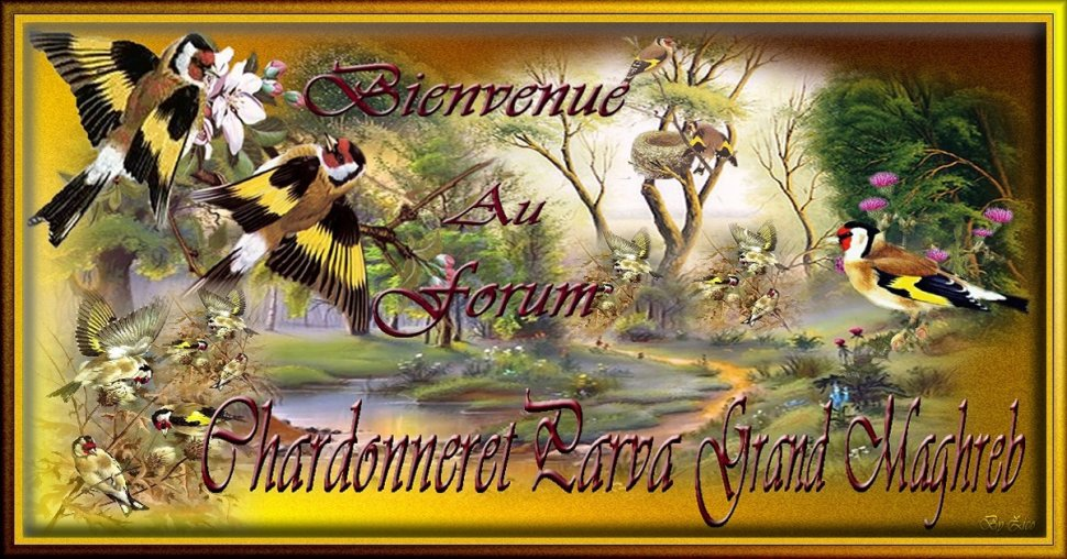 chardonneret-parva