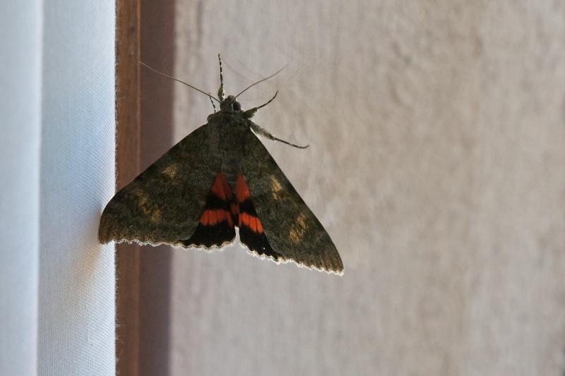 [Catocala elocata](Erebidae Catocalinae)Noctuelle? Lychan10