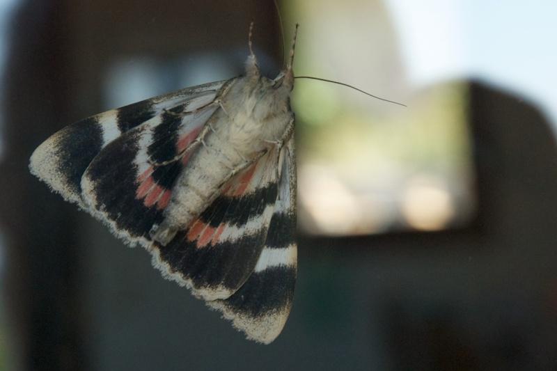 [Catocala elocata](Erebidae Catocalinae)Noctuelle? Lychan11