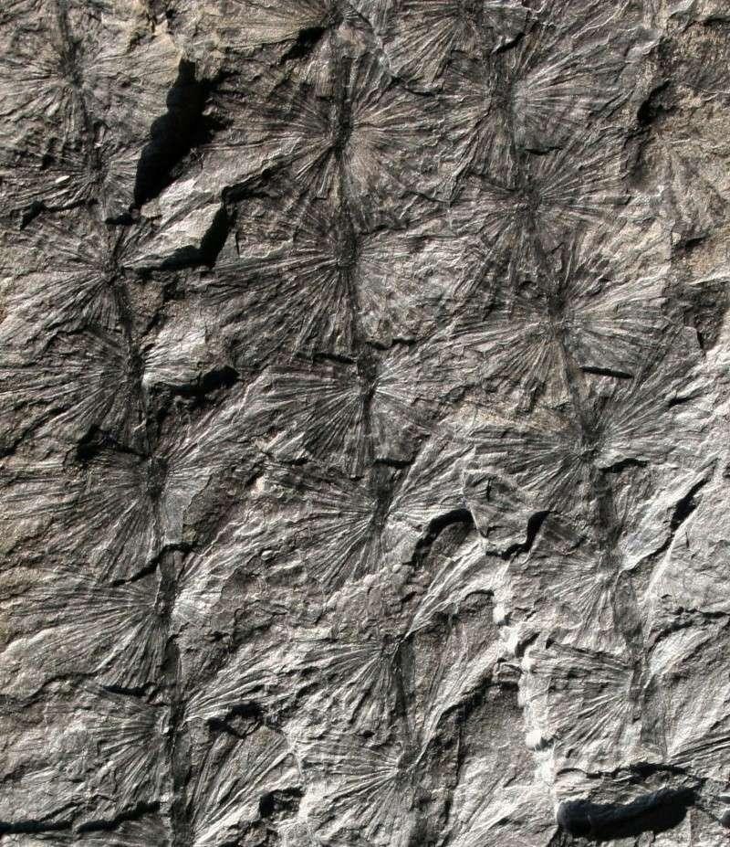 Calamites Schlotheim ,1820.  Annularia sternberg , 1822 .  00910