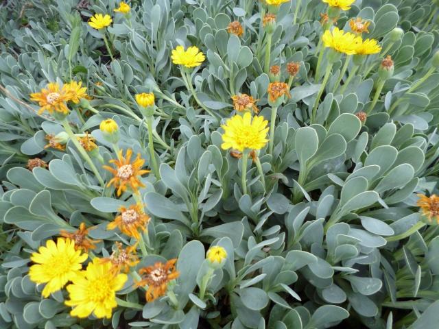 Nlle ident. / Othonopsis cheirifolia P1000823