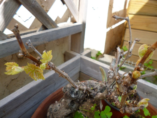 Pied de vigne. P1000913