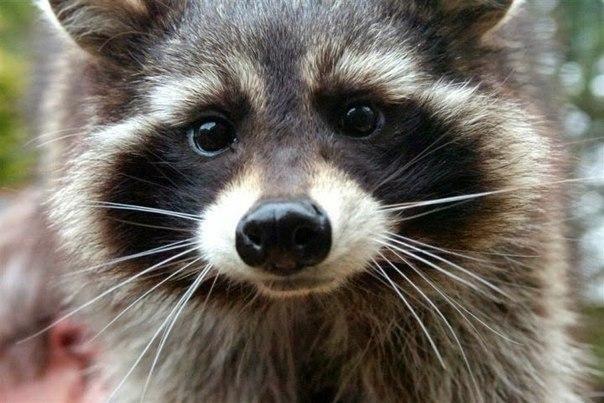 Meet Rocket Raccoon's 'Model' in GUARDIANS OF THE GALAXY Untitl10
