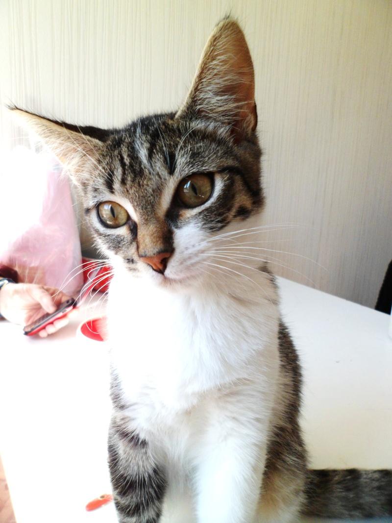Ivanhoé chaton hyper câlin et attachant né le 9 avril 2013 (adopté par sandrine59 ) 1111
