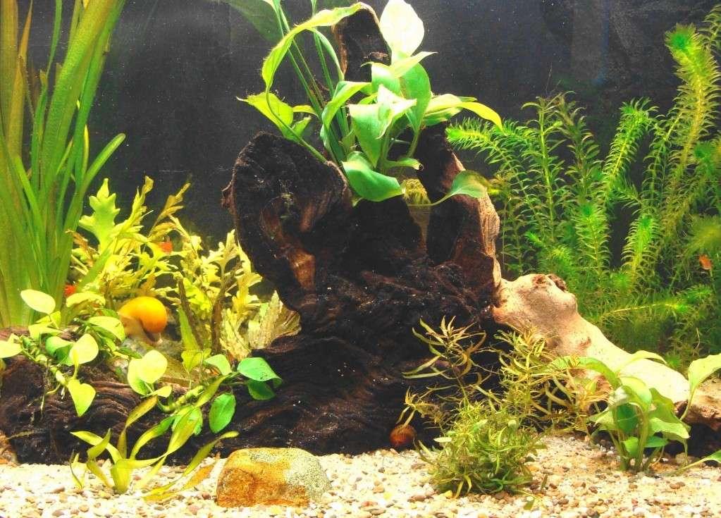 l aquarium de kdfred 200litres - Page 2 Racine11