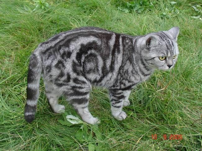 """Питомник британских и шотландских кошек """"ШАНТАЛЬ"""" Ddddud15"""