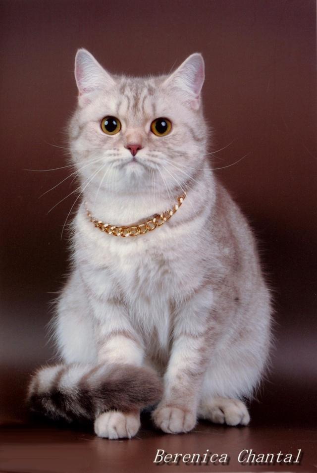 """Питомник британских и шотландских кошек """"ШАНТАЛЬ"""" Ddundu11"""