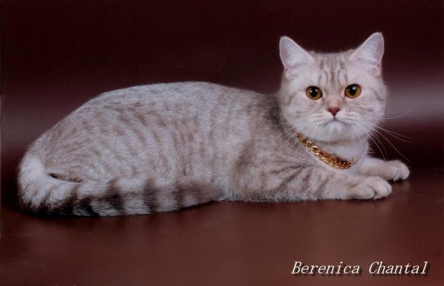 """Питомник британских и шотландских кошек """"ШАНТАЛЬ"""" Ddundu13"""