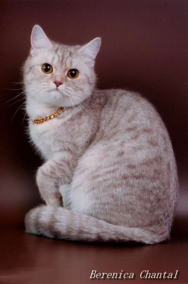 """Питомник британских и шотландских кошек """"ШАНТАЛЬ"""" Ddundu16"""