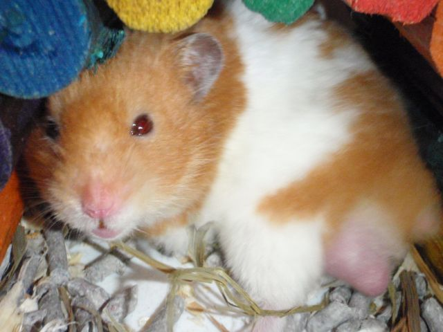 My hamsters and fat tailed gerbil Clipbo20