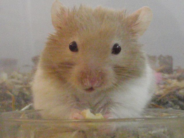 My hamsters and fat tailed gerbil Clipbo21