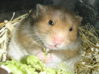 My hamsters and fat tailed gerbil Clipbo27