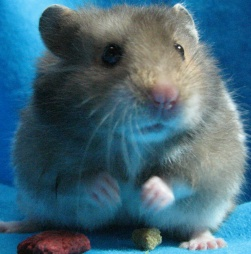 My hamsters and fat tailed gerbil Huh_10