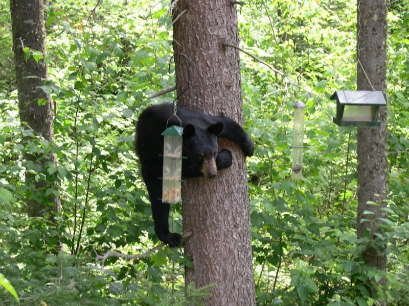 L'ours noir Gauvin17