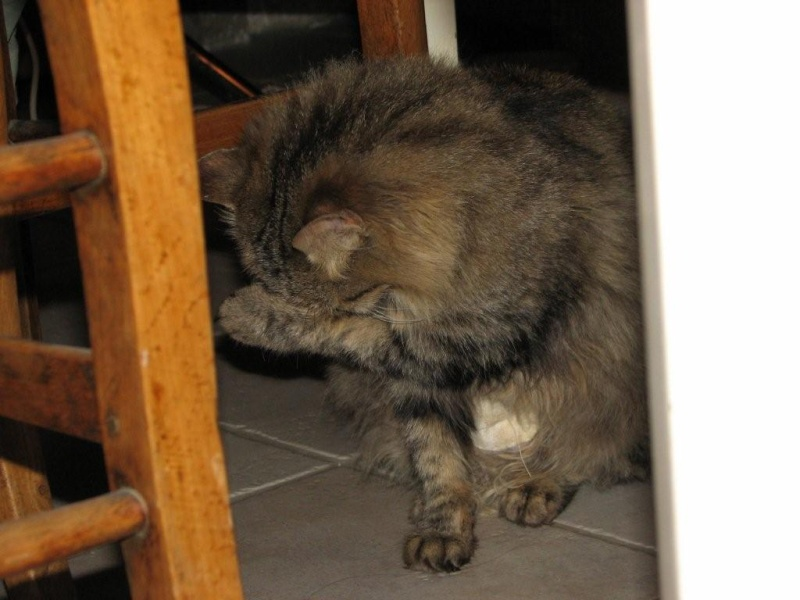 Lola, 1 an, petite miss à poils longs Img_2414