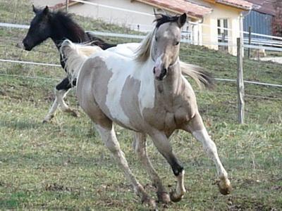 Kesak'Oh Paint Horse A11