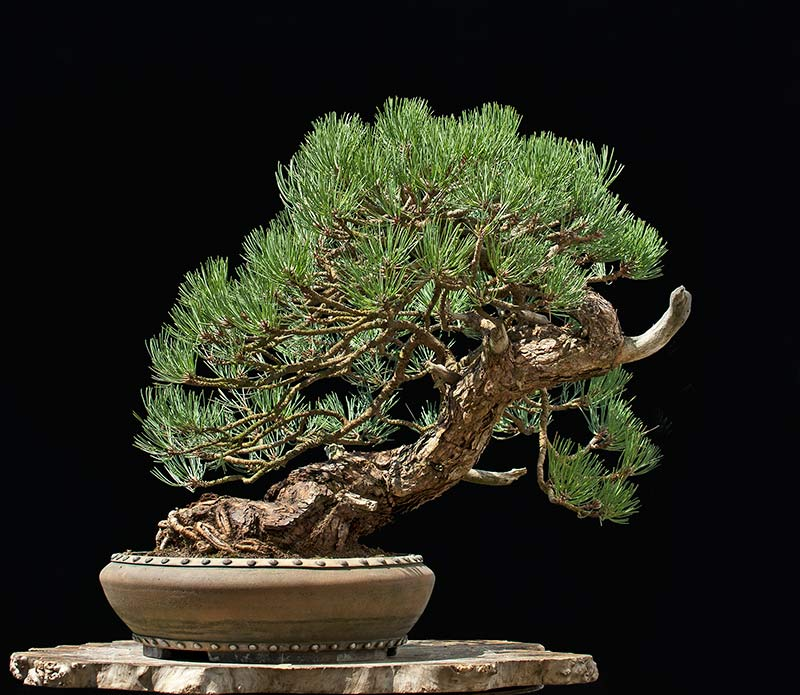 Ponderosa Pines... can they really make good bonsai? - Page 2 R2c_2513