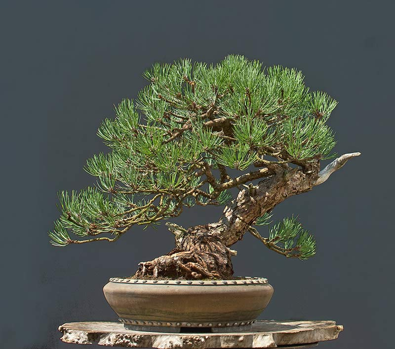 Ponderosa Pines... can they really make good bonsai? - Page 2 R2c_2514