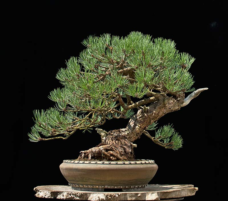 Ponderosa Pines... can they really make good bonsai? - Page 2 R2c_2515