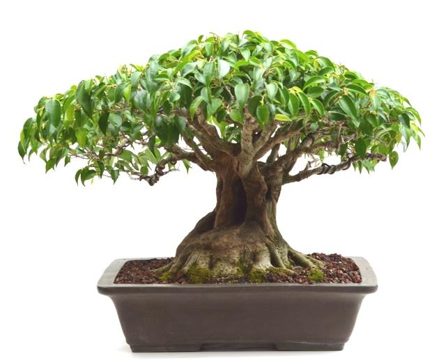 Ficus Benjamina history F_benj10