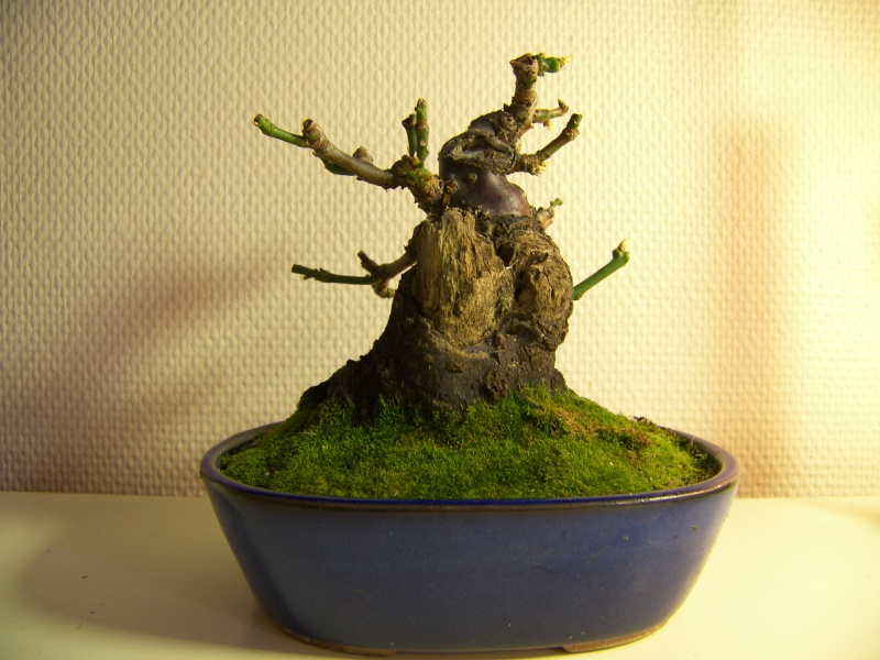 A new shohin tree UPDATE Noel_010