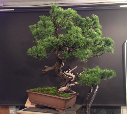 Pinus mugo - first styling - work for my client Photo_13
