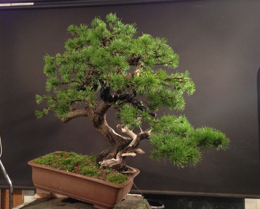 Pinus mugo - first styling - work for my client Photo_14