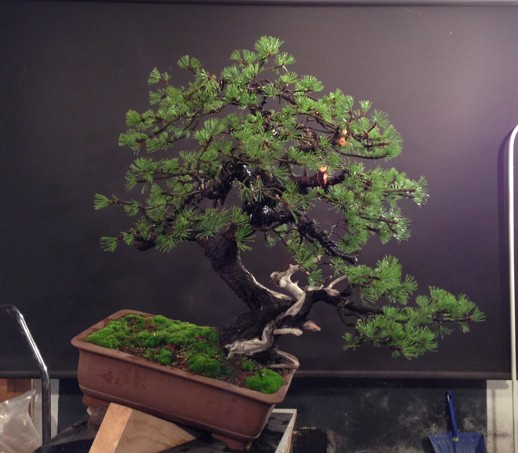 Pinus mugo - first styling - work for my client Photo_15