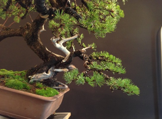 Pinus mugo - first styling - work for my client Photo_16