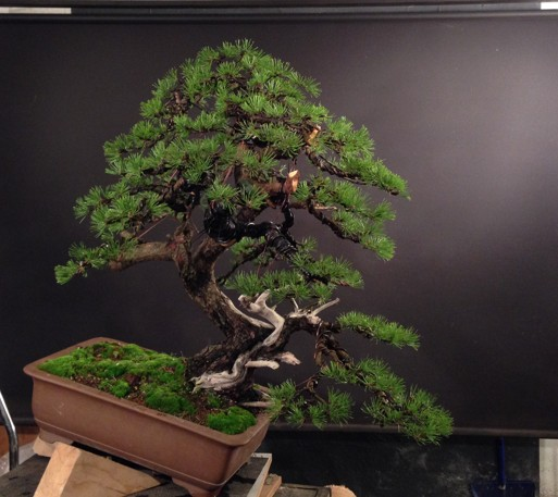 Pinus mugo - first styling - work for my client Photo_17