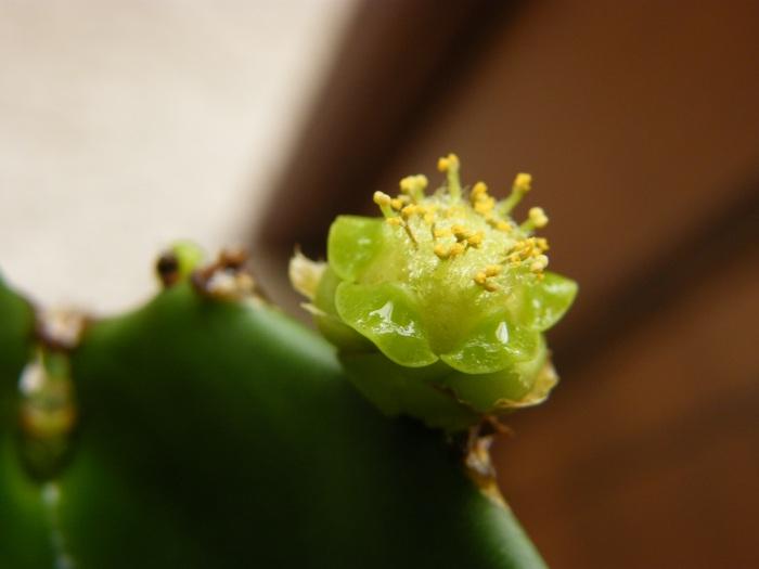EUPHORBIA ammak en fleur Euphor10