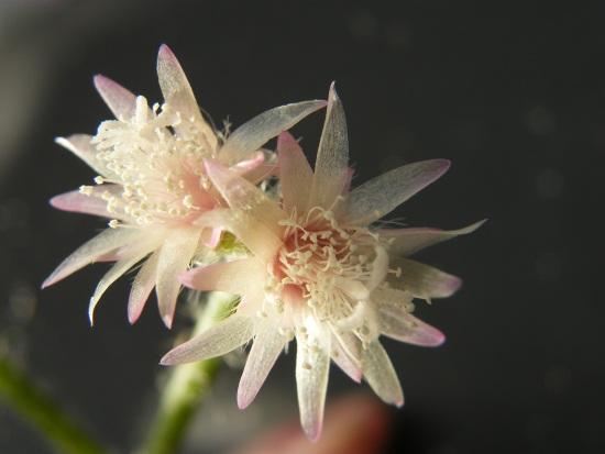 Rhipsalis pilocarpa en fleurs Rhipsa10