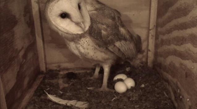 La webcam d'une chouette effraie  - Page 6 Owlcea14