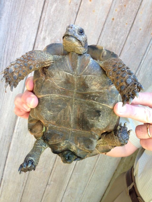 Voilà la tortue trouvée dans mon jardin Img_0210