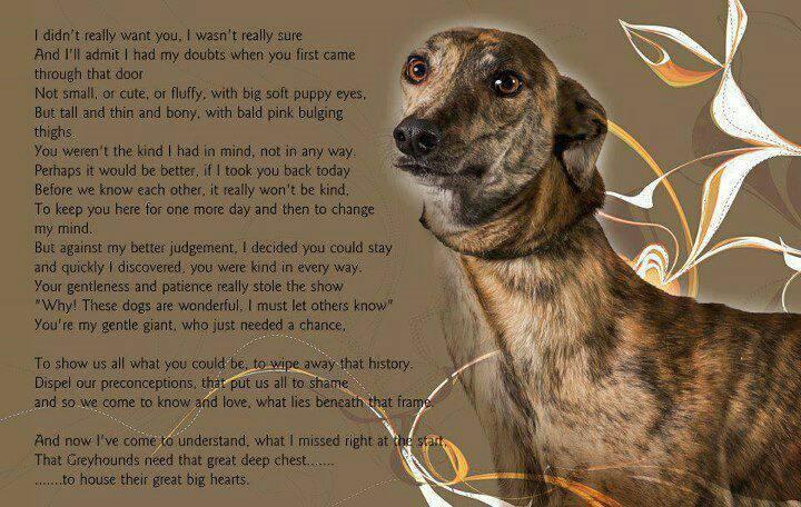 Greyhounds  Greyho10