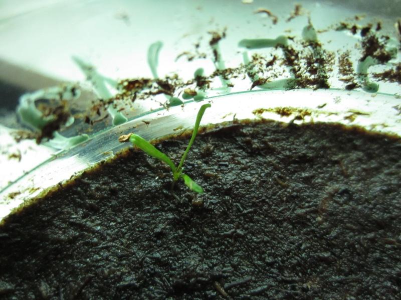 Conseils et astuces pour réussir des semis de Sarracenia ! Img_5030