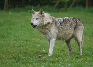 ANIMAL TOTEM  Loup10